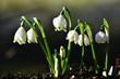 Leinwanddruck Bild - Frühlingsknotenblume; Maerzenbecher; Leucojum vernum; spring snowflake;