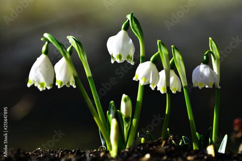 Leinwanddruck Bild Frühlingsknotenblume; Maerzenbecher; Leucojum vernum; spring snowflake;