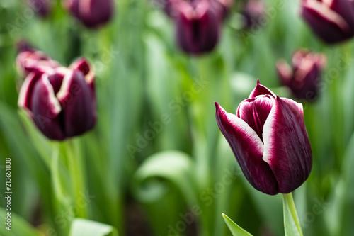 Fototapeta Purple and White Tulips