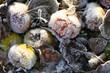 Leinwanddruck Bild - Raureif; Apfel; apple; hoar; rime; Covered with frost;