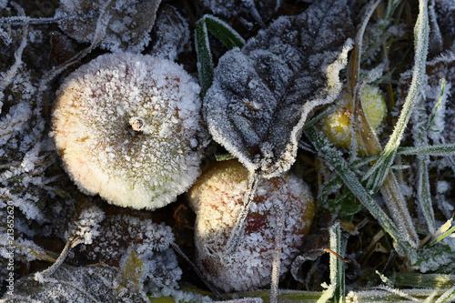 Leinwanddruck Bild Raureif; Apfel; apple; hoar; rime; Covered with frost;