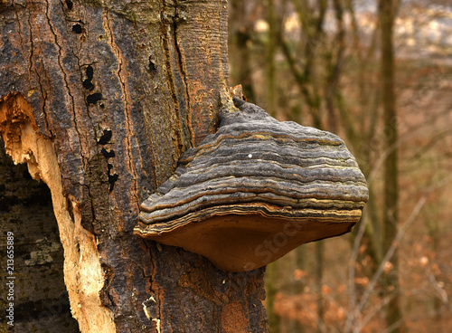 Leinwanddruck Bild Pilz; Zunderschwamm; Fomes fomentarius; tinder fungus; horse's hoof fungus;