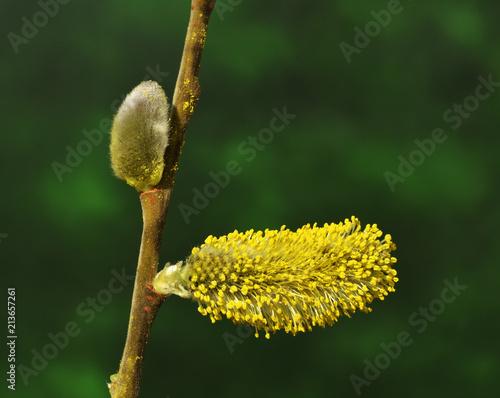 Leinwanddruck Bild Weide; Salweide; Salix caprea; goat willow; pussy willow;