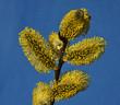 Leinwanddruck Bild - Weide; Salweide; Salix caprea; goat willow; pussy willow;