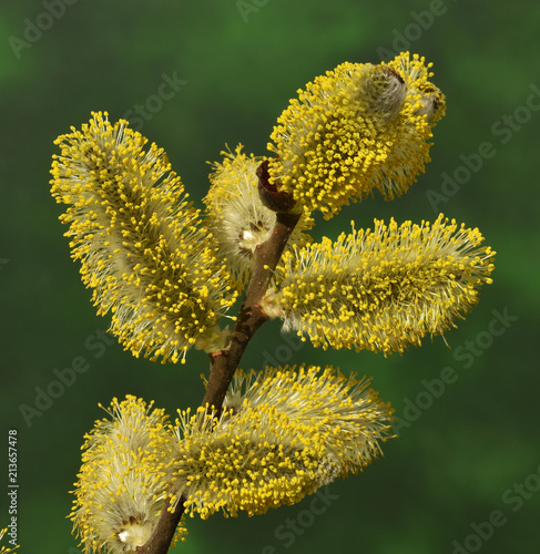 Leinwanddruck Bild Salweide; Salix caprea; goat willow; pussy willow;