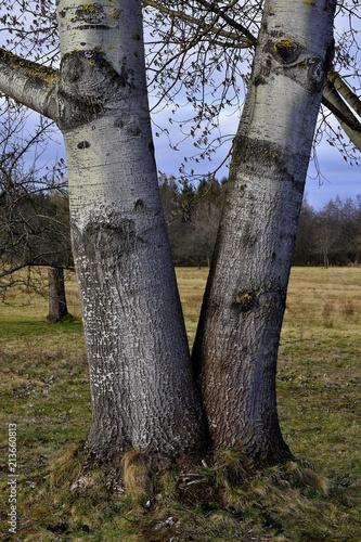 Leinwanddruck Bild Silberpappel; populus alba; Stammfuss;