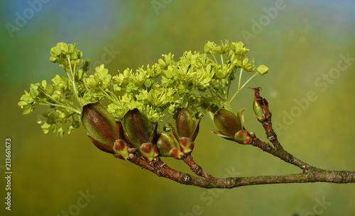 Leinwanddruck Bild Ahorn; Spitzahorn; Acer platanoides; European  maple;