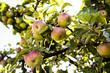 Jabłkowy sad