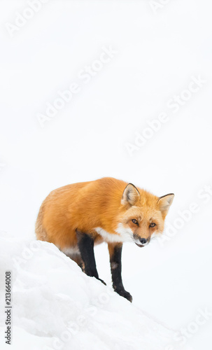 Red fox, Canada - 213664008