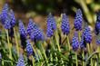 Leinwanddruck Bild - Traubenhyazinthe; muscari armeniacum;