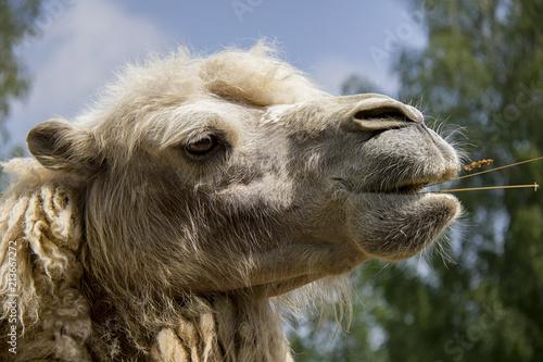 In de dag Kameel Bactrian Camel. Camelus bactrianus.