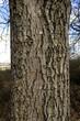 Leinwanddruck Bild - Walnussbaum; Juglans regia; Walnuss; Borke; Rinde;