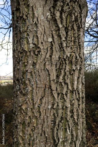 Leinwanddruck Bild Walnussbaum; Juglans regia; Walnuss; Borke; Rinde;