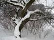 Leinwanddruck Bild - Apfelbaum; Schneebaum; apple tree; snowtree; Malus domestica;
