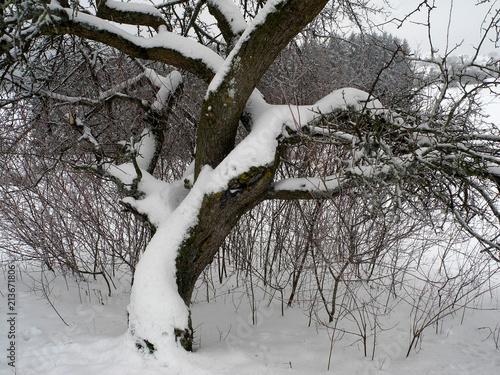 Leinwanddruck Bild Apfelbaum; Schneebaum; apple tree; snowtree; Malus domestica;