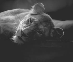 lionne seule en train de se reposer en noir et blanc de face