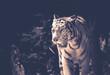tigre blanc adulte seul en noir et blanc debout de trois quart en été - 213678208