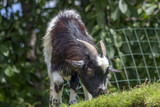 A Cameroon mini goat on a roof grazes green grass. - 213678446