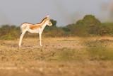 Indian Wild Ass, Little Rann of Kutch