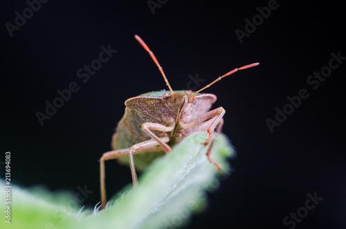 The bug the green tree shield Palomena prasina sits on the leaf - 213694083