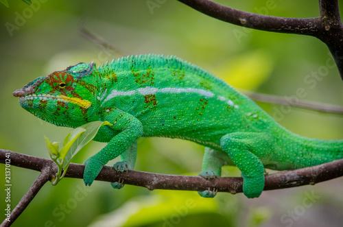 Plexiglas Kameleon Leopard chameleon from Nosy Be Island (Madagascar)