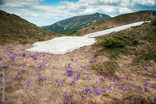 Foto Spatwand Lente Purple crocuses bloom on the background of the mountains. Remains of snow and flowering crocuses on the background of the mountain Pop Ivan in the Carpathians, Ukraine.