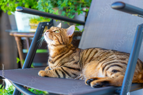 Beautiful bengal cat playing on the balcony, washing himself, feeling sleepy or playful. Little tiger.