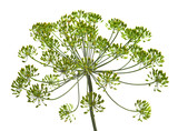 Umbel of dill weed on the white background - 213717236