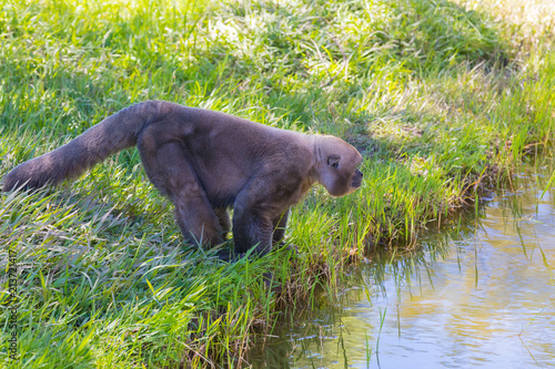 Fotobehang Aap Woolly Monkey on the river bank