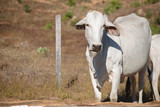 Nelore cow portrait, looking at camera - 213724260