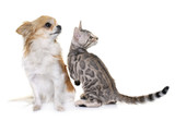 silver bengal kitten and chihuahua - 213744833