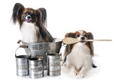 papillon dogs cooking - 213745619
