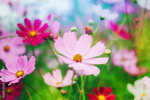 Aluminium Purper Colorful bright cosmos flowers, beautiful background