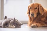 British short hair cat and golden retriever - 213756420