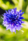 flower cornflower with leaves