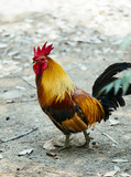 beautiful rooster walking