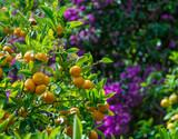 Mandarin orange tree (citrus reticulata) and the blurred background (