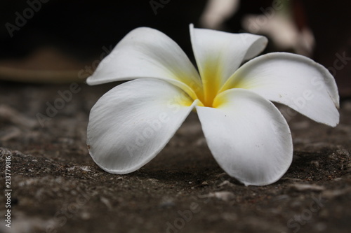 Plexiglas Plumeria beautiful plumeria flower background