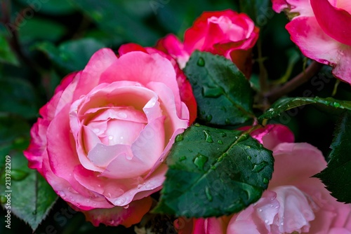 One The Beautiful Big Blossoming Bud Of A Rose Of Red Pink Color