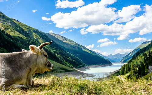 zabawna krowa