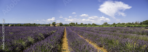 Canvas Aubergine Panoramic landscape of full blooming of lavender field in Provence, South of France