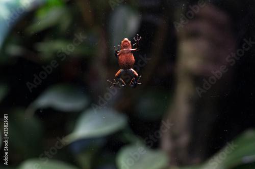 Foto Spatwand Kikker frog in the terrarium