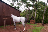 White horse waiting in the stable - 213825895