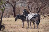 Zebras in Kruger Park, South Africa