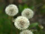 Dandelion. Fluffy white flower.