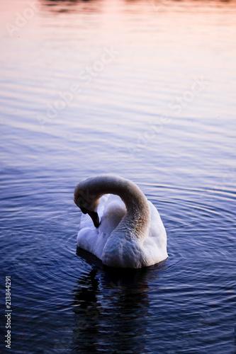 Fotobehang Zwaan White swan on a lake at sunset