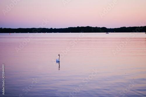 White swan on a lake at sunset - 213844490