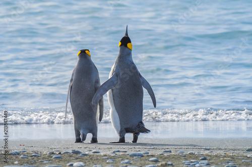 Foto Spatwand Antarctica King Penguins, South Georgia Island, Antarctic