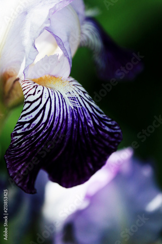 Fotobehang Iris Macro iris