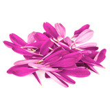 Lilac chrysanthemum flower petals isolated on white background - 213856015